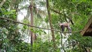 """Verschwinden die Bäume, verlieren seltene Stummelaffen oder Rotbauchmeerkatzen ihr Habitat. Dieses Exemplar lebt jedoch im Reservat """"Sanctuaire des Singes"""", das 1995  in Drabo Gbo, Benin, auf 2,5 Hektar startete. Und über die Jahre konnte dessen Gebiet um das Vierfache erweitert werden."""