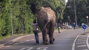 Ausgebüxter Zirkus-Elefant spaziert durch die Stadt