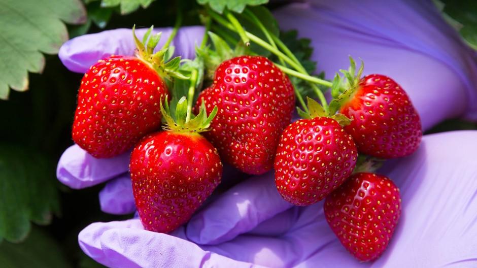 Vollreif: Frisch gepflückte Erdbeeren sind eine Delikatesse.