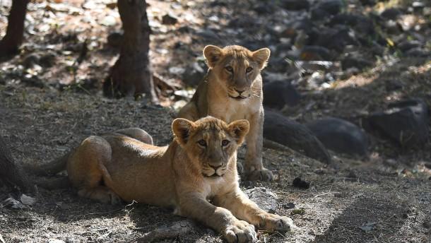 Endlich Wasser für die Löwen im Gir Nationalpark
