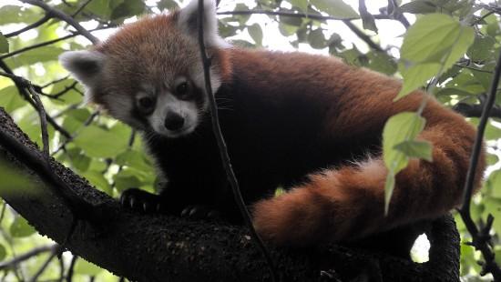 Kleiner Panda ganz groß