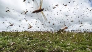 Heuschreckenplage sucht Ostafrika heim