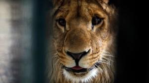kreuzung zwischen tiger und löwe