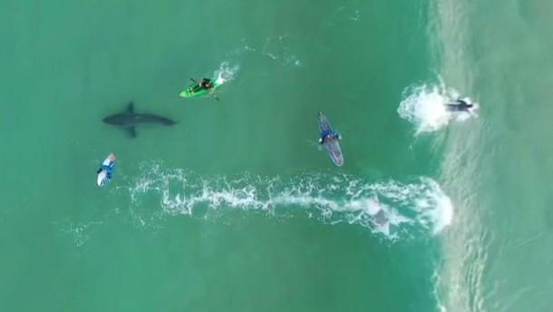Weißer Hai mischt sich unter Surfer