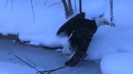 Weißkopfadler im Eis gefangen
