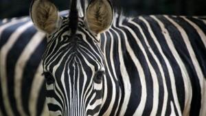 Zebra in der Kühltruhe