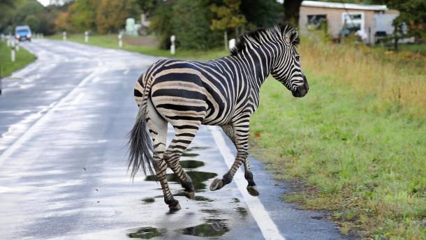 Entlaufenes Zebra wurde erschossen