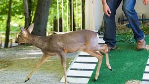 """Reh """"Bambi"""" wird zum Problem für Wildpark"""