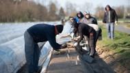 Hessen, Weiterstadt: Saisonarbeitskräfte stechen schon auf der Anbaufläche des Tannenhofs Spargel.
