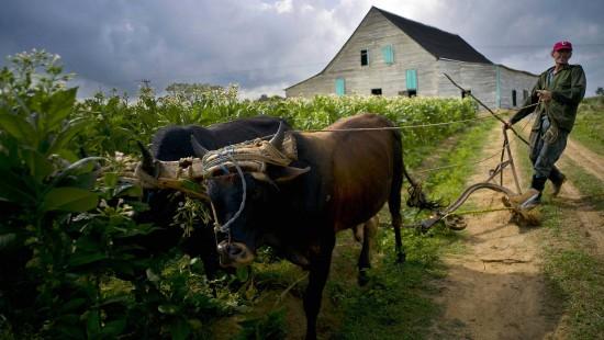 Ochsen und Pferde vermehrt genutzt