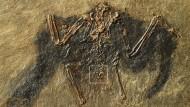 Unerwarteter Fund: Das Vogelfossil mit der Bürzeldrüse (markiert), wo sich das 48 Millionen Jahre alte Fett befand.