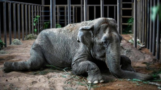 Neues Leben für alten Zirkus-Elefanten