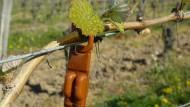 Biologische Schädlingsbekämpfung: Lockstoff an einer Weinrebe im Rheingau