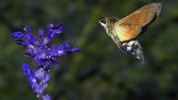 """Der hessische """"Kolibri"""""""