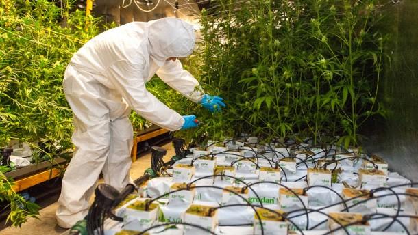 Drastische Strafen für Besitzer von Cannabis-Plantage