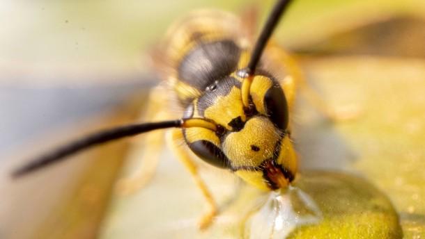 Weniger Wespen unterwegs
