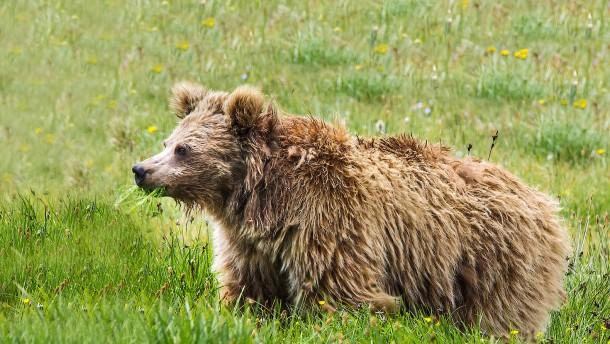 Yetis sind auch nur Bären