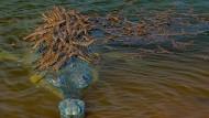 Auf seinem etwa vier Meter langen Körper bieter dieser Echte Gavial seinen zahlreichen Nachkommen viel Platz. Viele Tage hat der Fotograf Mukherjee damit verbracht, dieses vom Aussterben bedrohte Reptiel zu fotografieren. Schätzungsweise 650 erwachsene Gangesgaviale, wie er auch genannt wird, existieren noch.