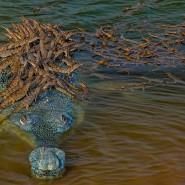 Auf seinem etwa vier Meter langen Körper bietet dieser Echte Gavial seinen zahlreichen Nachkommen viel Platz. Viele Tage hat der Fotograf Mukherjee damit verbracht, dieses vom Aussterben bedrohte Reptil zu fotografieren. Schätzungsweise 650 erwachsene Gangesgaviale, wie er auch genannt wird, existieren noch.