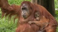 """Orang-Utan-Mutter """"adoptiert"""" Affen-Baby"""
