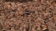 Zehntausende tote Austern in Karatschi