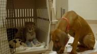 Hund begleitet Geparden-Nachwuchs zur OP