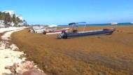 Algen-Drama in der Karibik