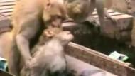 Affe belebt Artgenossen wieder