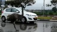 Emu mitten im Straßenverkehr