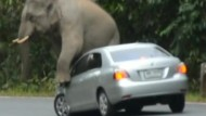 Liebestoller Elefant auf Auto