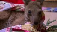 Känguru-Babys werden aufgepäppelt