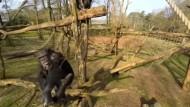 Affe holt Drohne vom Himmel