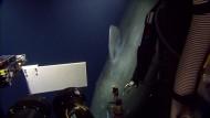 Pottwal auf Tuchfühlung mit Forschungsboot