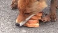 Fuchs stapelt Brotscheiben und Wurst zu Sandwich