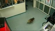 Koala besucht Notaufnahme