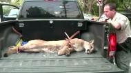 Puma streift durch Wohngebiet