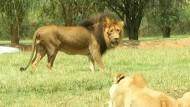 Löwe beißt Amerikanerin auf Safari zu Tode