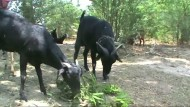 Indischer Ziegenbock gibt angeblich Milch