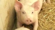 Schweine nehmen mit Mozart besser zu als mit Rockmusik