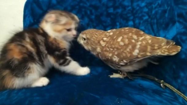 Das Video der Eule und der Pussy Katze