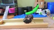 Dressierte Ratten werden zum Internethit