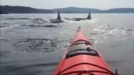 Begegnung mit zwei Dutzend Schwertwalen