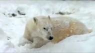 Eisbär tollt im ersten Schnee