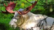 Weißer Elch abgelichtet