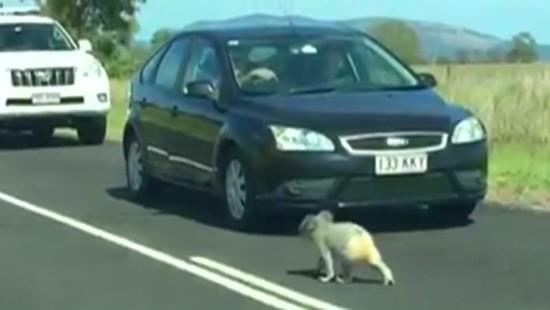 Polizist eskortiert Koala