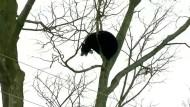 Aufregung um kletternden Baby-Bär