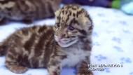 Flauschige Nebelparder-Babys im Zoo