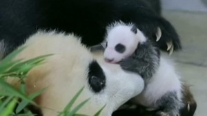 Panda-Nachwuchs in Shanghai wohlauf