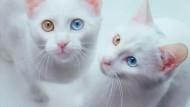 Zwei Katzen mit zweifarbigen Augen