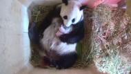 Panda-Zwillinge sorgen in Wien für Überraschung